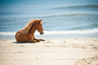 Wild horse on the beach in Corolla, NC